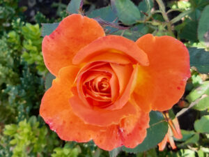Beautiful Orange Rose at Dumfries House Walled Garden